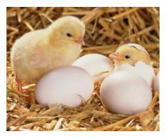 Инкубационное яйцо (бройлера) РОСС 308
