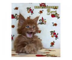 Котята мейн кун красный солид. Шоу класс. Питомник